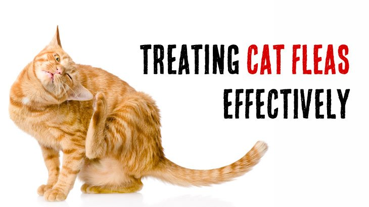 Best Cat Flea Infestation Treatment, Symptoms & Prevention In The Home