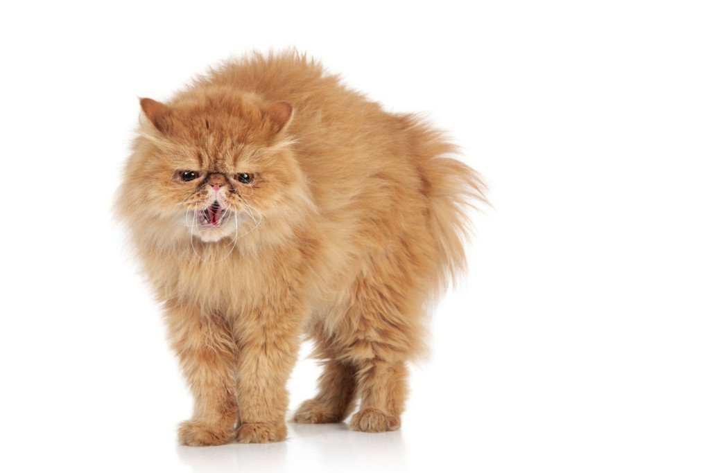 Scared-ginger-persian-cat