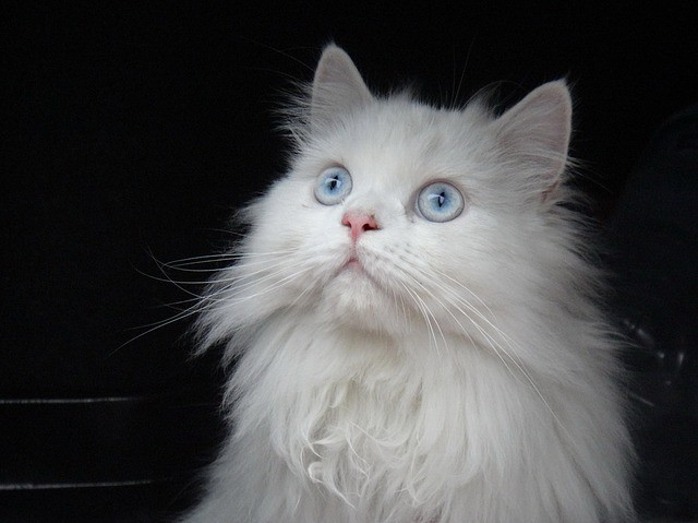 Best Cat Food For Persian Cats In India