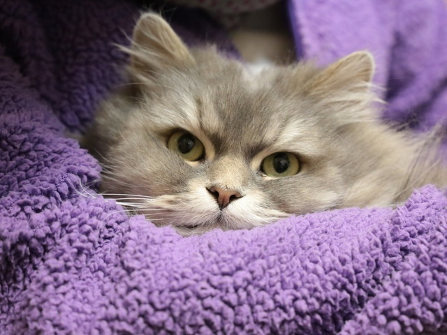 persian cat health issues