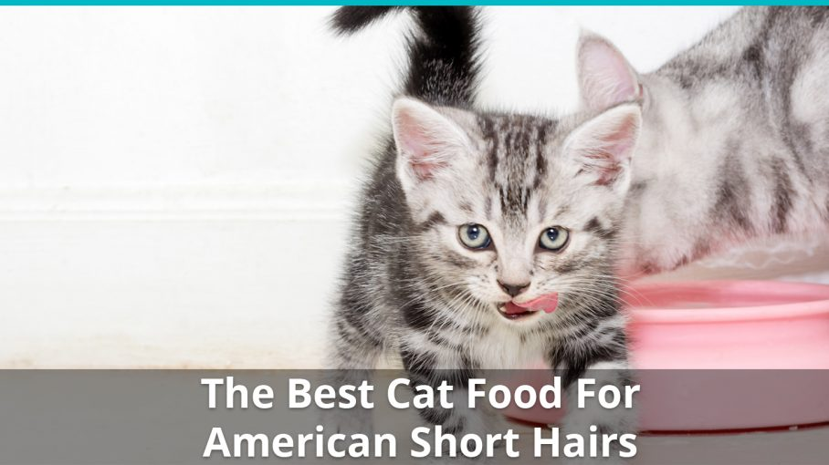 best american short hair cat food
