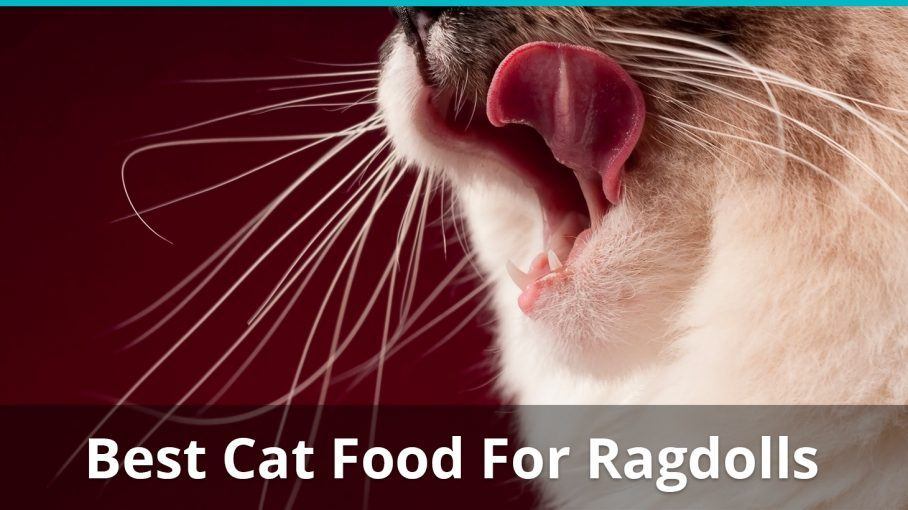 best cat food for ragdolls