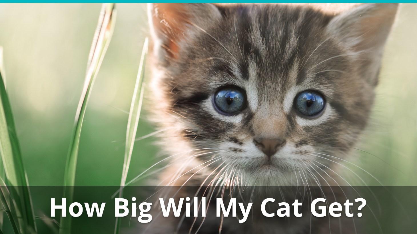 how big will my cat get