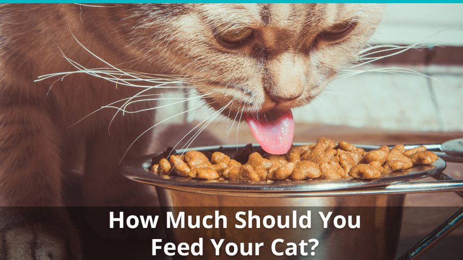 how much feed cat