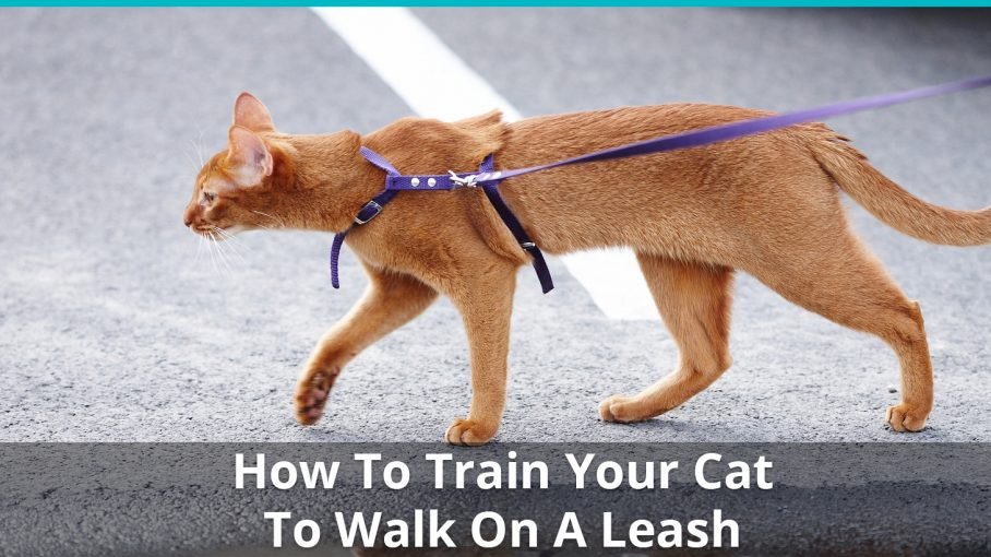 how to train cat walk leash