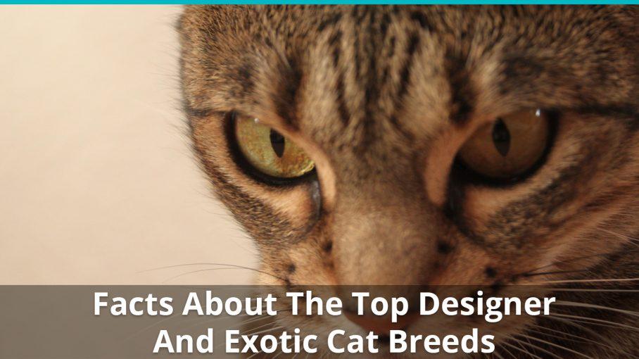 designer exotic cat breed facts