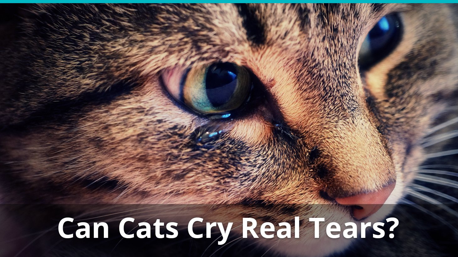 Can Cats Cry Tears Like Humans? Do They Cry When In Pain Or Sad?