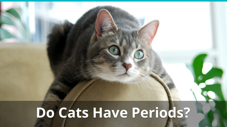 do cats have menstrual periods