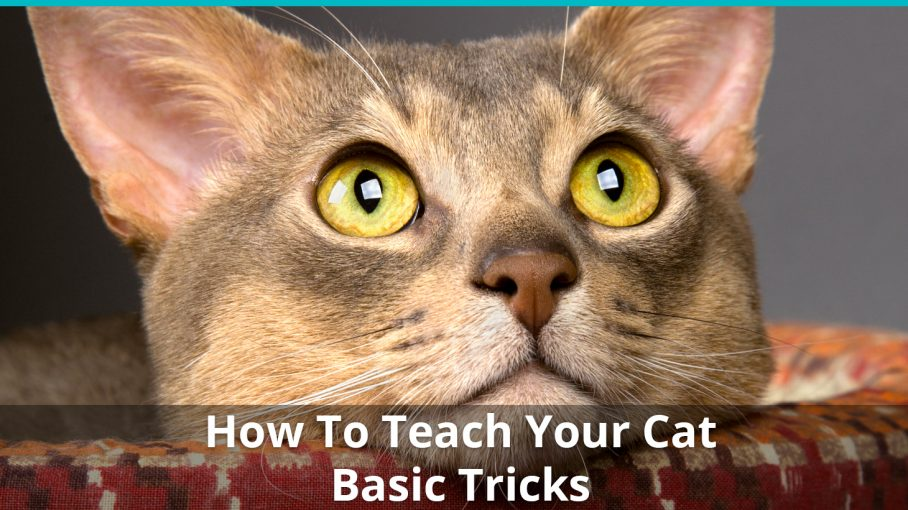how to teach tricks to cat