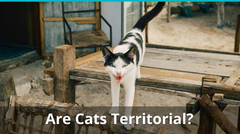 are cats territorial
