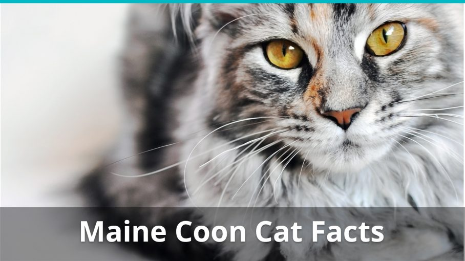 maine coon cat facts