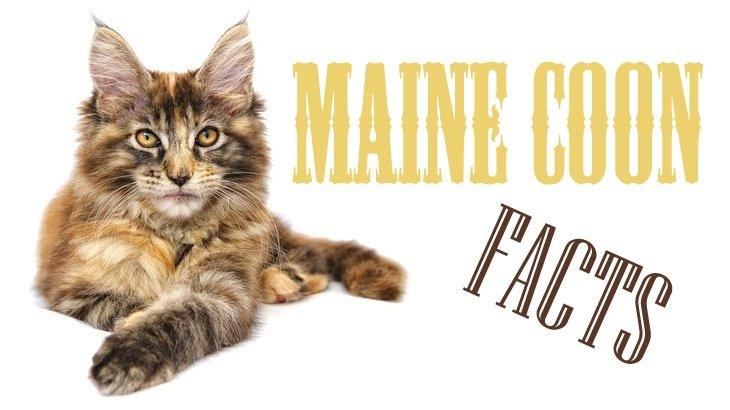 Maine Coon Cat Facts Figures And Vital Information For Owners