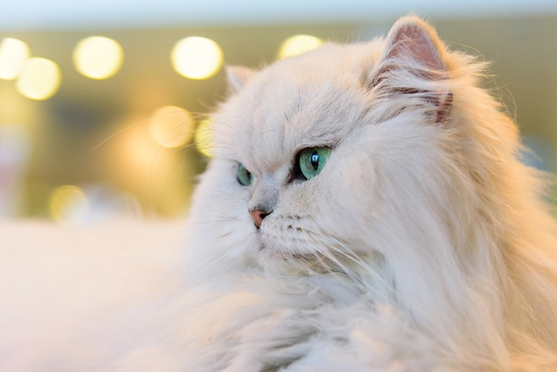 Persian Cat Facts Colors Health Issues Nutrition And More Vital Info