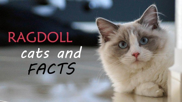 Ragdoll Cat Facts, Figures, and Vital Information For Owners
