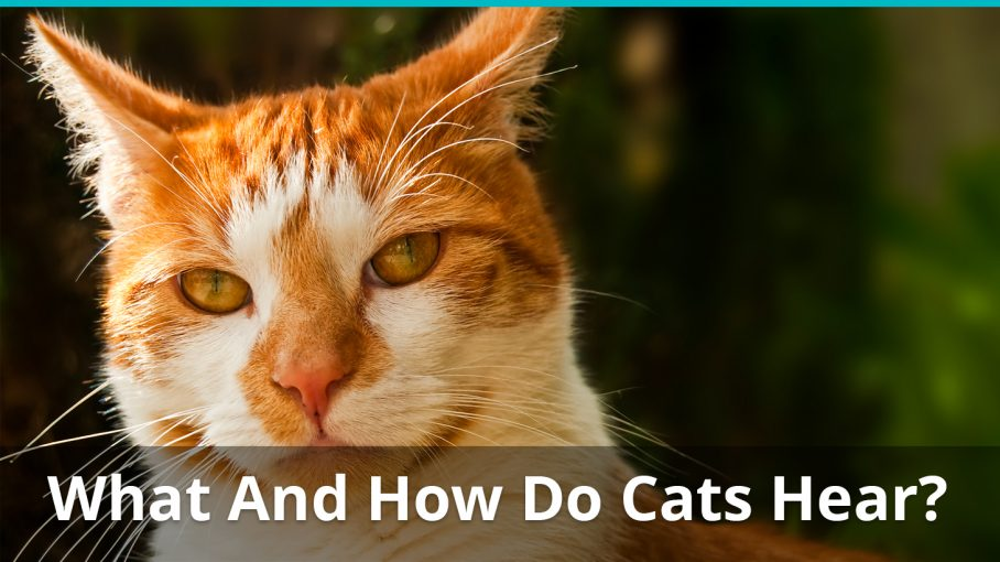 what how cats hear