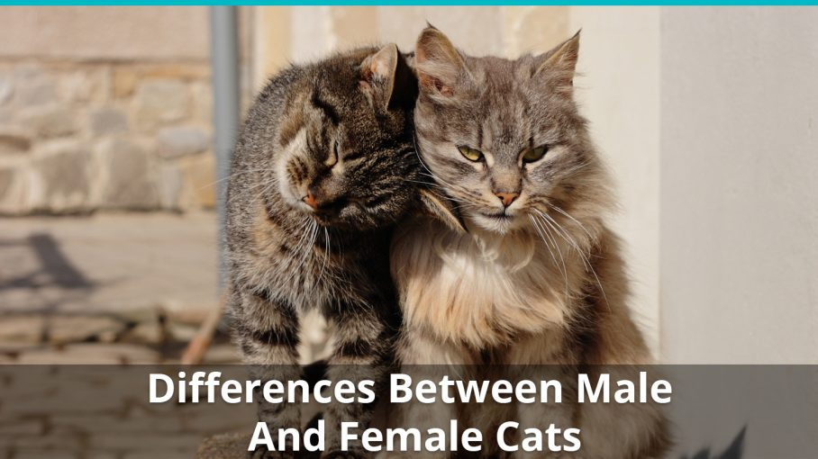 differences between male female cats
