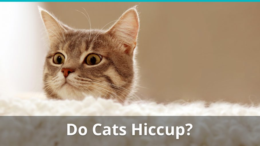 do cats hiccup
