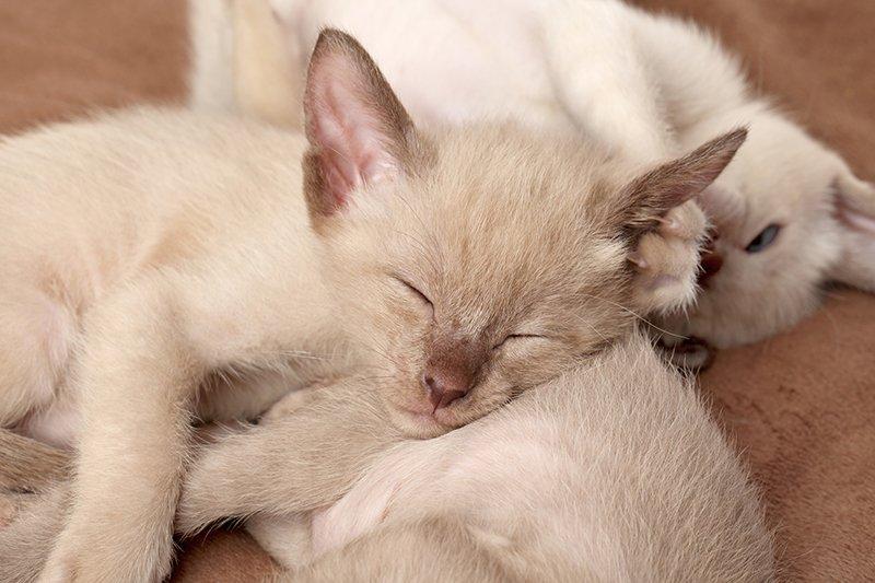 oriental shorthair cat