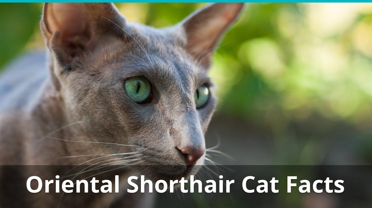 Where To Get An Oriental Cat