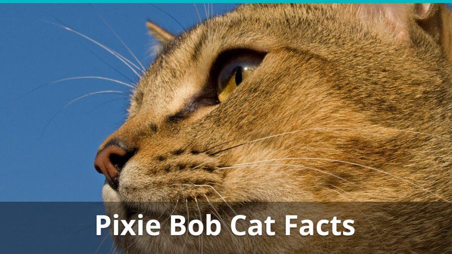 pixie bob cat facts