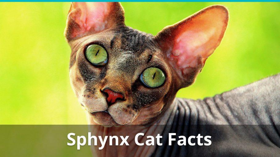 sphynx cat facts