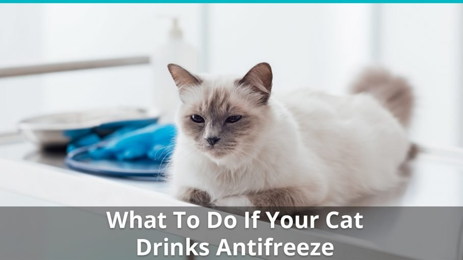 Will Cats Drink Antifreeze And Get Poisoned? What To Do, Symptoms, Etc