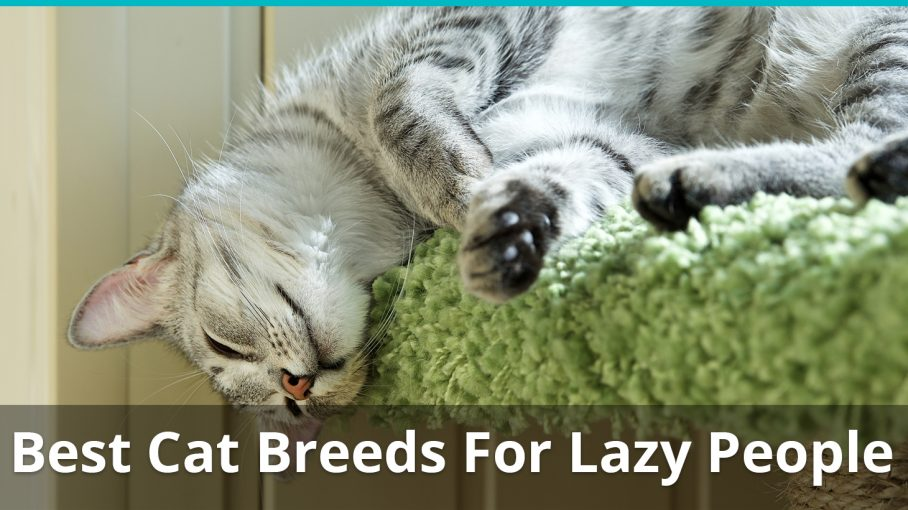 best cat breeds for lazy people