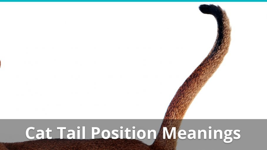 cat tail position meanings
