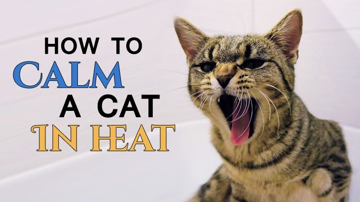 Can A Cat In Heat Be Spayed