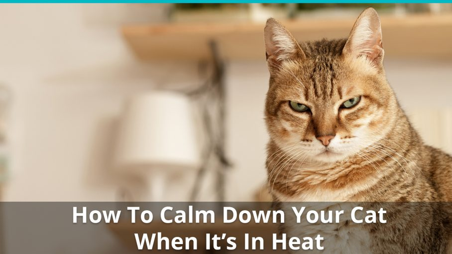 How To Help Calm Down A Cat In Heat Calming Remedies