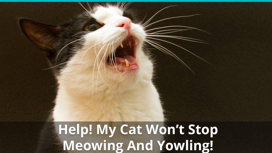 cat wont stop meowing