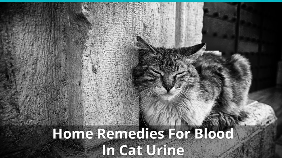 home remedies blood cat urine