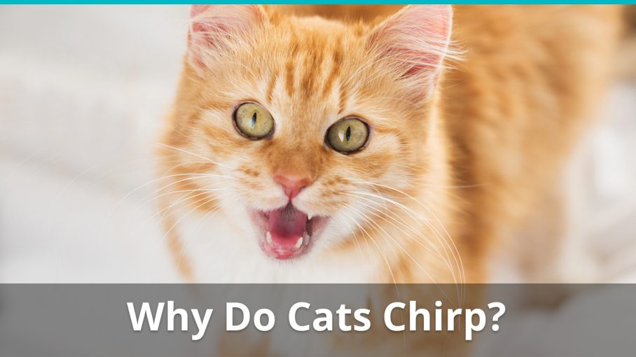 why do cats chirp