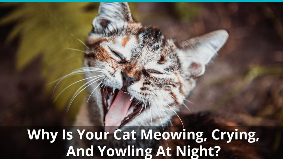 why is cat meowing at night