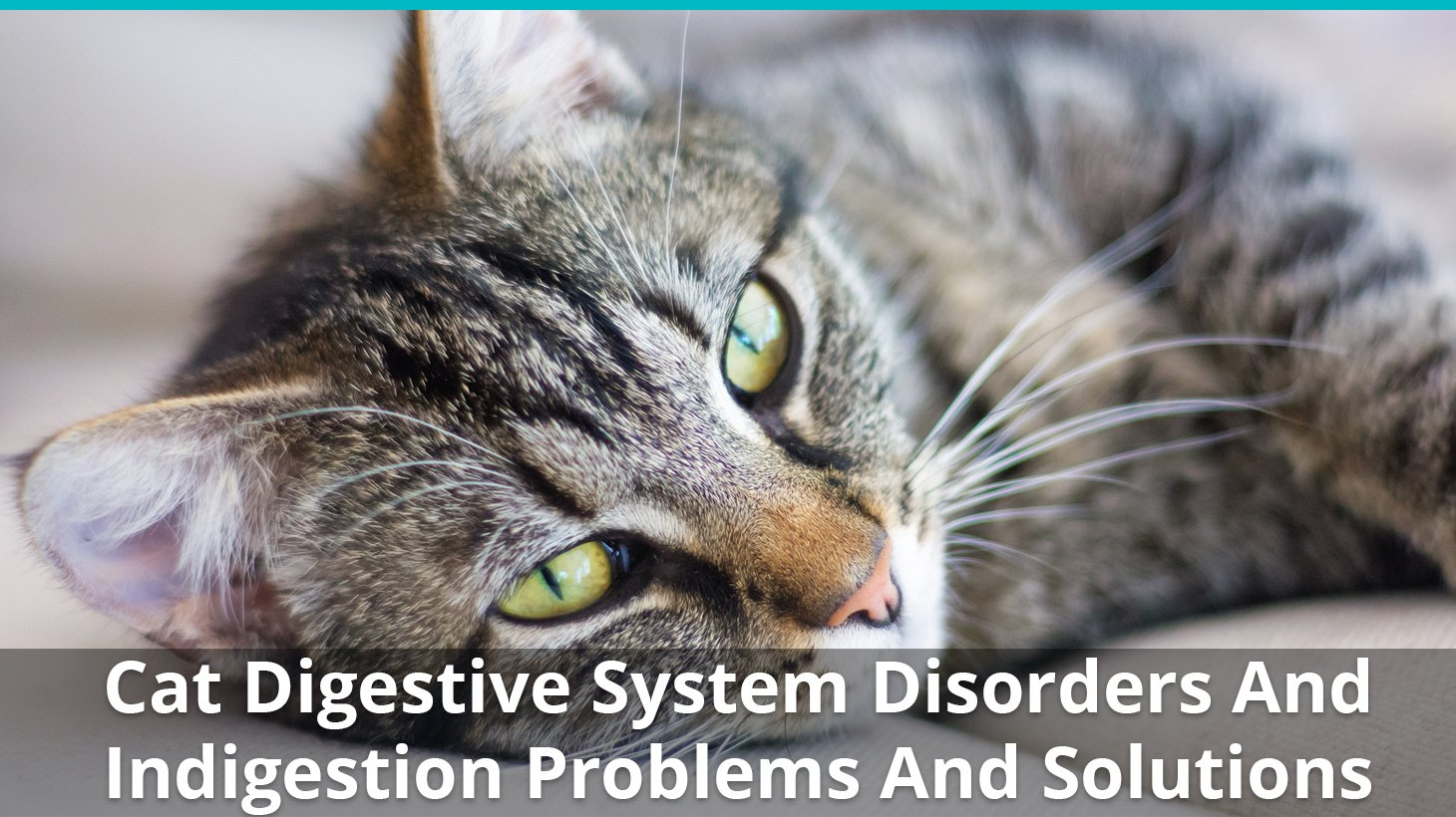 Cat Digestive System Disorders And Indigestion Problems