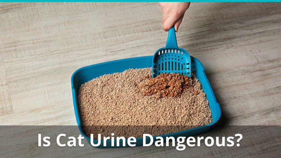 cat urine dangerous