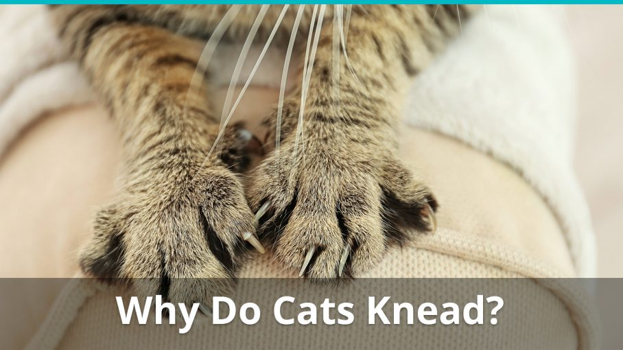 why do cats knead