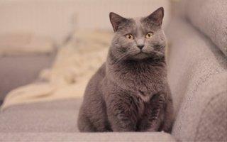 Chartreaux Cat