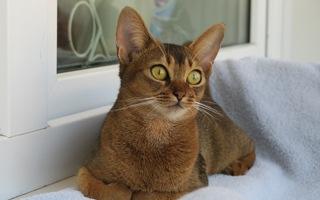 razze di gatto abissino