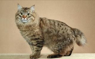 razze di gatto bobtail