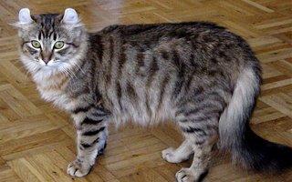 razze di gatto american curl