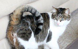razze di gatto ringtail