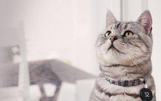 razze di gatto shorthair