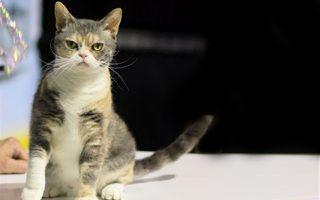razze di gatto American Wirehair