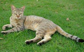 razze di gatto Mau