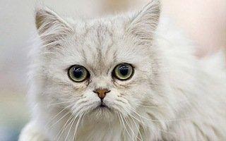 Asian Longhair Cat