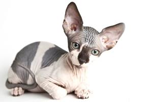 razze di gatto Bambino