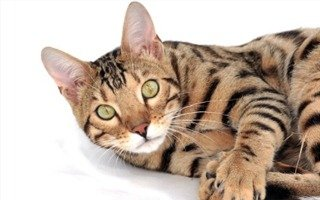 razze di gatto bengala