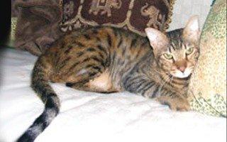 razze di gatto Bramble