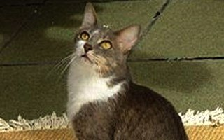 razze di gatto Brasilian Shorthair